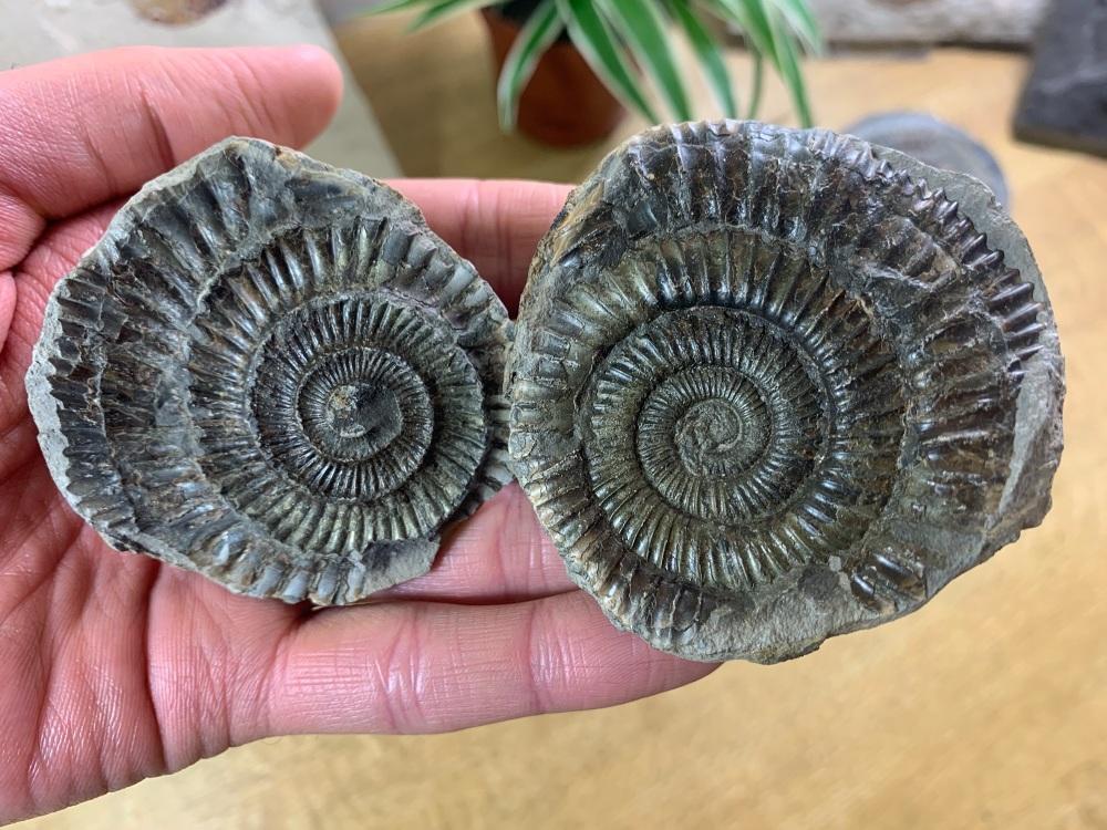 Dactylioceras commune Ammonite - 6.2cm #13
