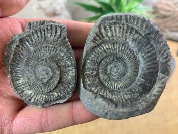 Dactylioceras commune Ammonite - 5cm #14