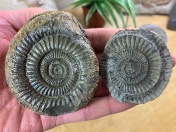 Dactylioceras commune Ammonite - 7.2cm #15
