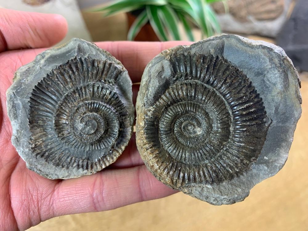 Dactylioceras commune Ammonite - 4.8cm #15