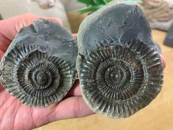 Dactylioceras commune Ammonite - 5.8cm #16