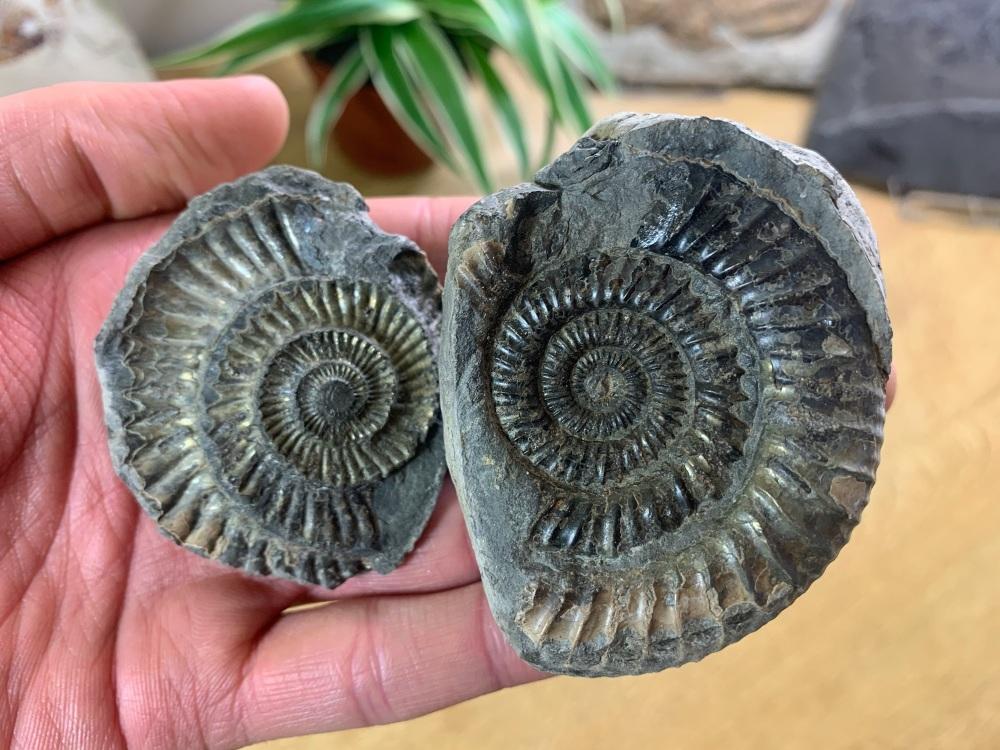 Dactylioceras commune Ammonite - 5.9cm #17