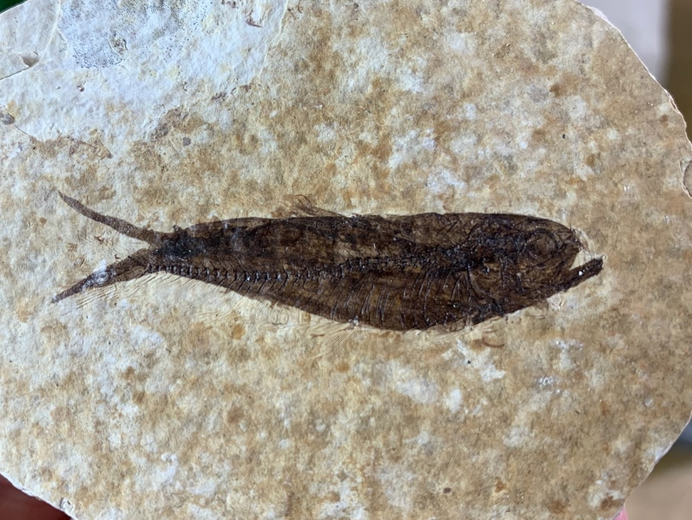 Fossil Fish, Green River Formation #03