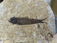 Fossil Fish, Green River Formation #10