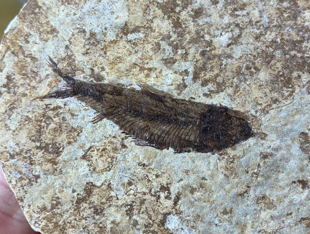 Fossil Fish, Green River Formation #13