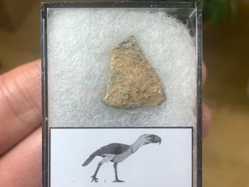 Gastornis (Giant Bird) Eggshell #03