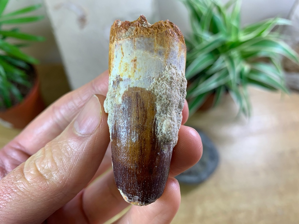 Spinosaurus Tooth - 2.38 inch #SP03