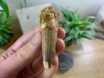 Spinosaurus Tooth - 2.63 inch #SP05