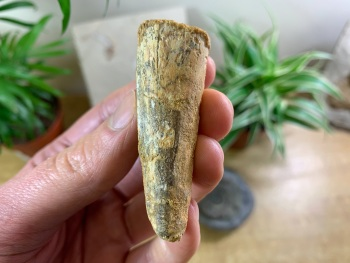 Spinosaurus Tooth - 2.63 inch #SP10