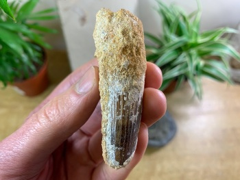 Spinosaurus Tooth - 2.75 inch #SP11