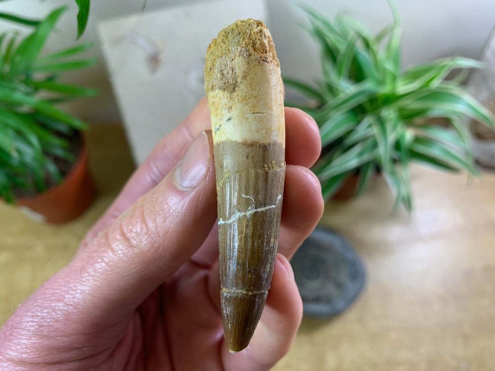 Spinosaurus Tooth - 2.88 inch #SP12