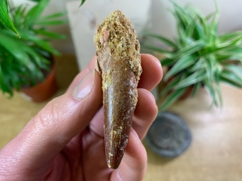 Spinosaurus Tooth - 2.56 inch #SP16