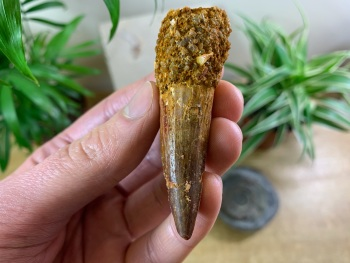Spinosaurus Tooth - 2.75 inch #SP18