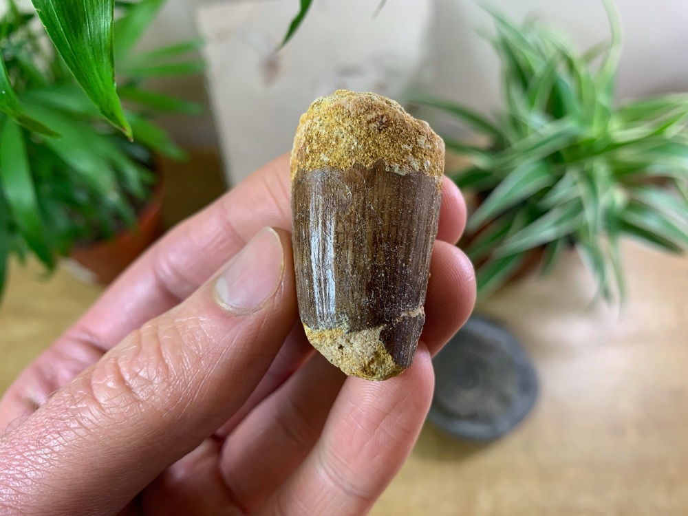 Spinosaurus Tooth - 1.5 inch #SP21