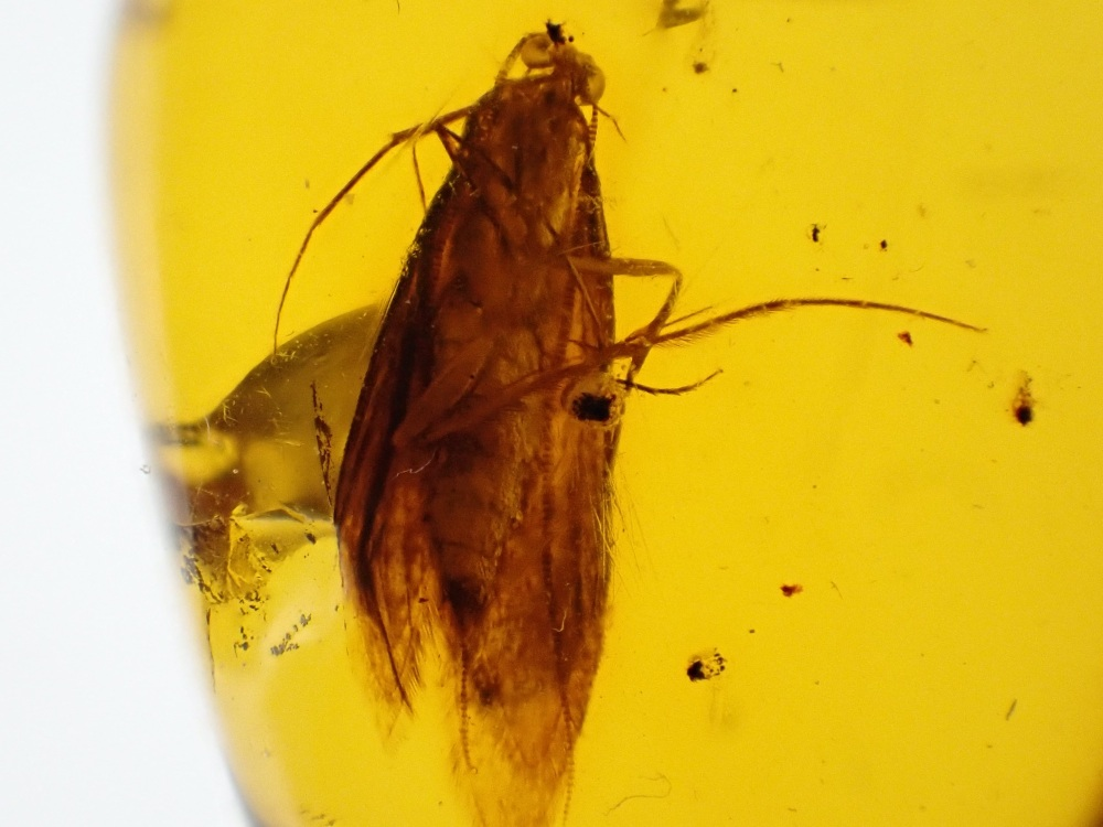 Dominican Amber Inclusion #08 (Moth)