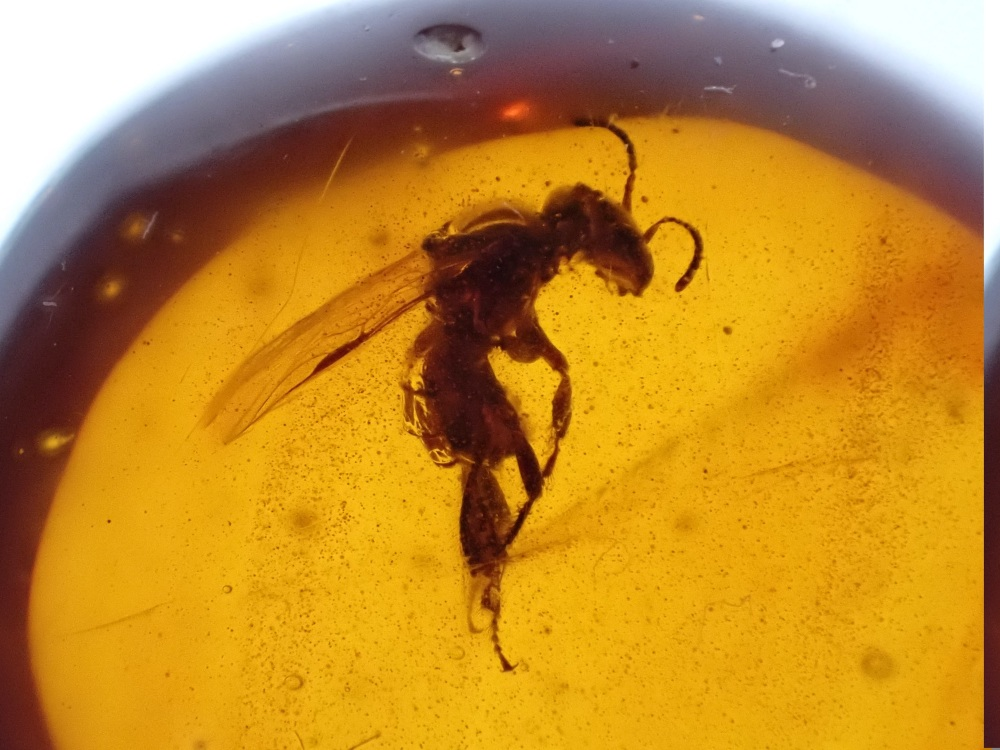 Dominican Amber Inclusion #17 (Stingless Bee)