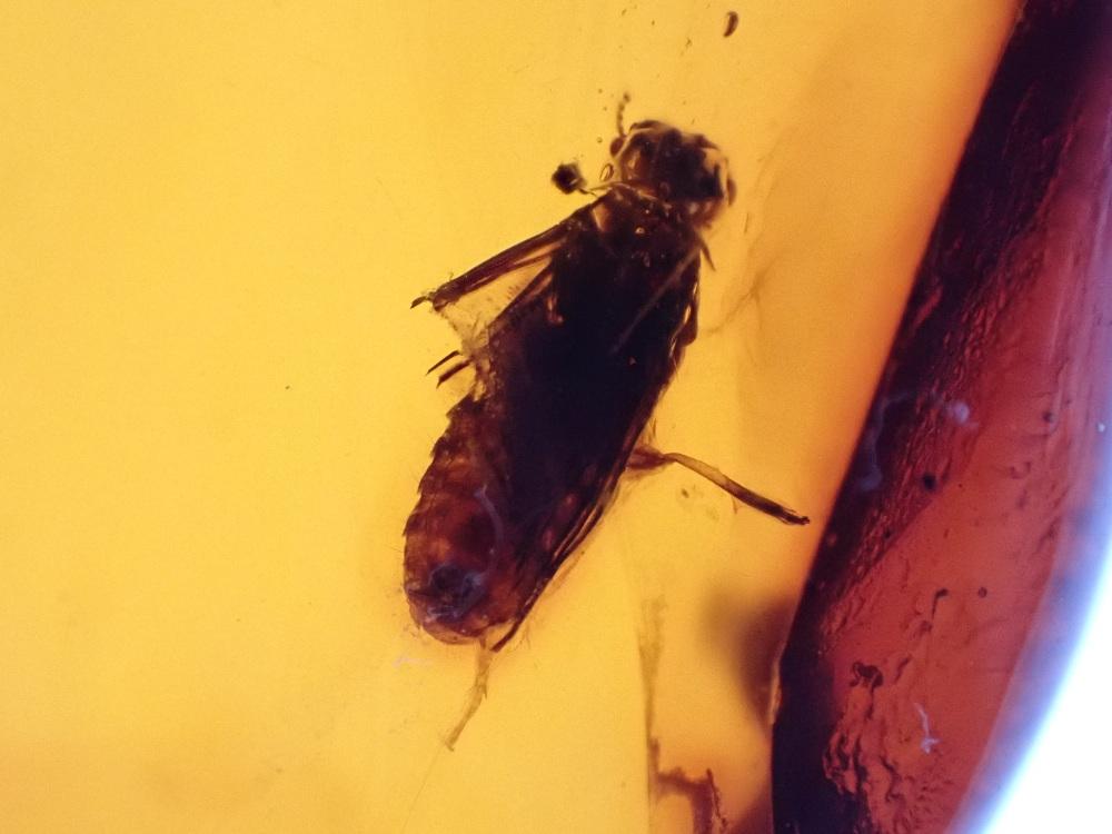 Dominican Amber Inclusion #21 (Termite)