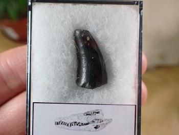 Alligator Tooth, Florida #03