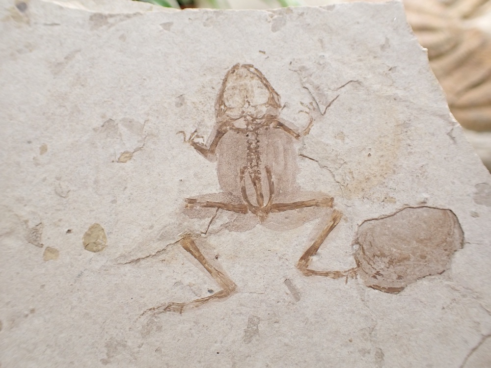 Jehol Fossil Frog with Soft Tissue (Yixian Formation, China)