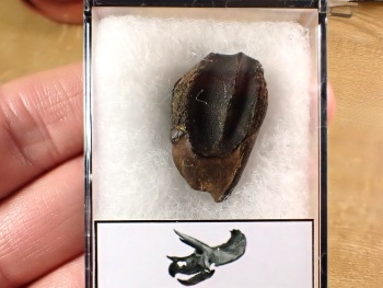 Triceratops Tooth #03