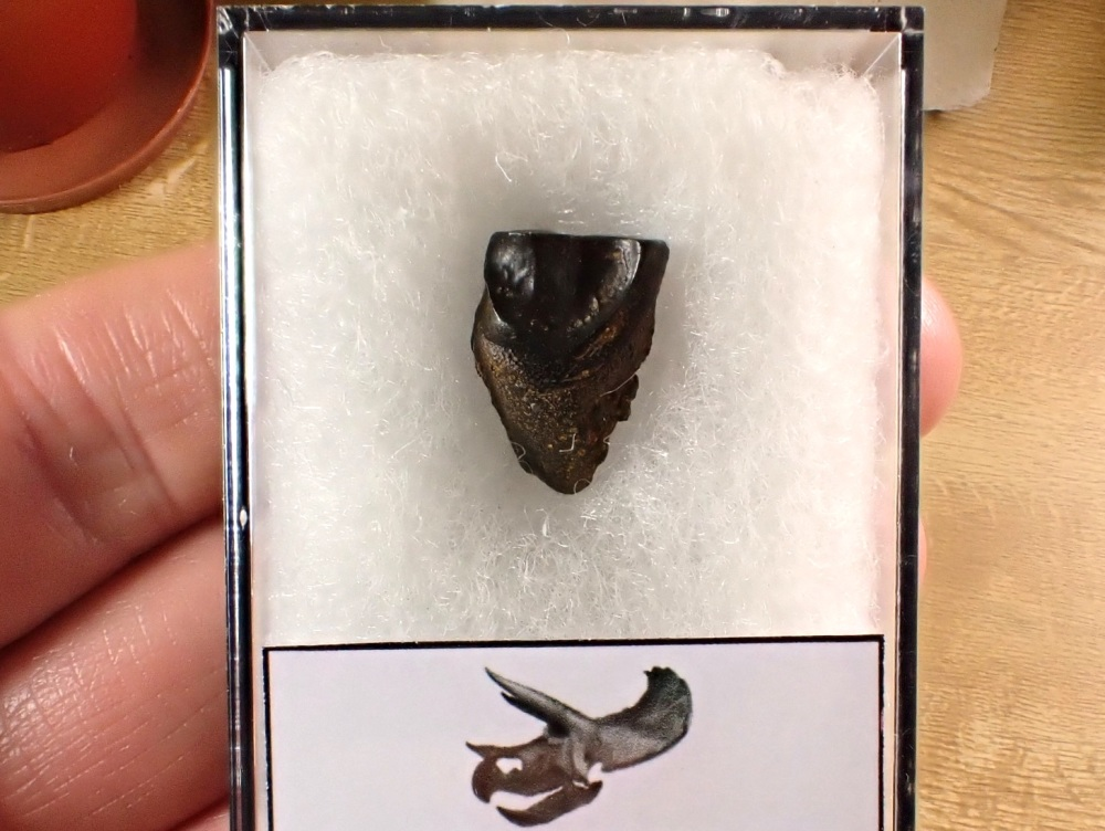 Triceratops Tooth #09