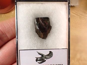 Triceratops Tooth #12