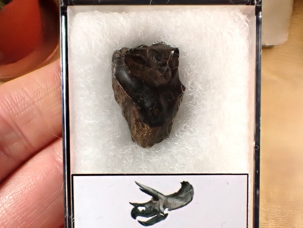 Triceratops Tooth #13