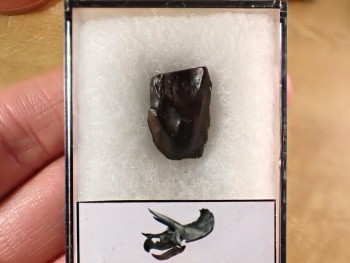 Triceratops Tooth #14