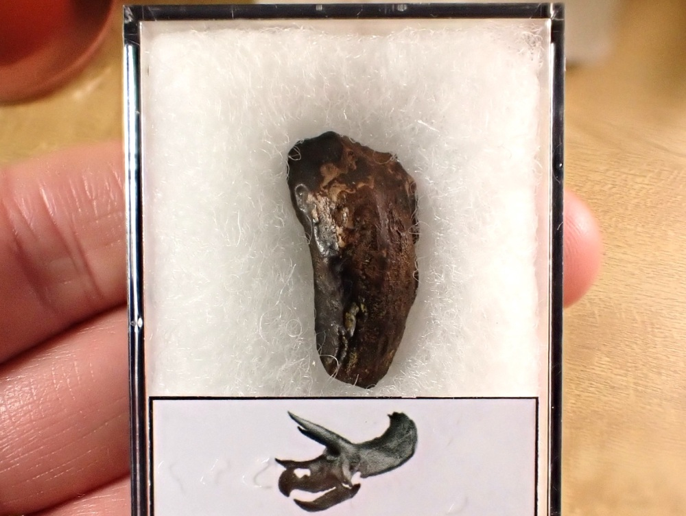Triceratops Tooth #15