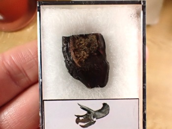 Triceratops Tooth #18
