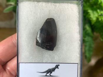 Tyrannosaurus rex Tooth (1 inch) #08