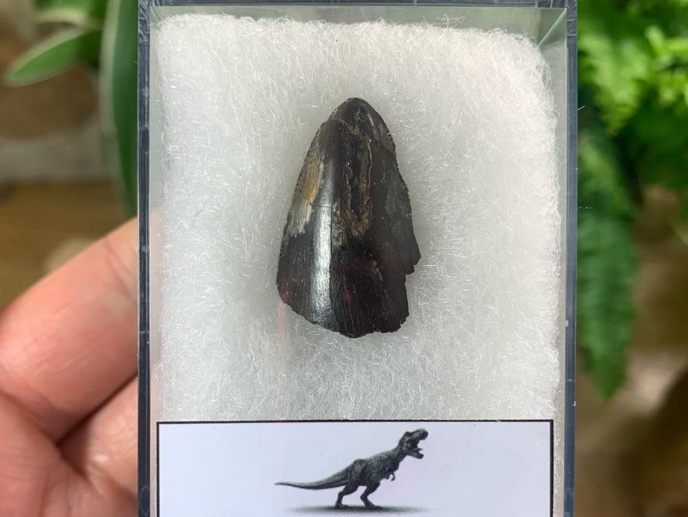Tyrannosaurus rex Tooth Tip (1.13 inch) #09