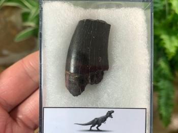 Tyrannosaurus rex Tooth (1.44 inch) #10