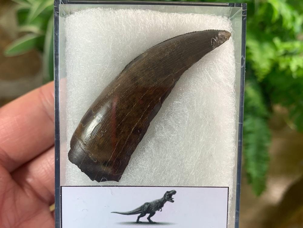 Partial Tyrannosaurus rex Tooth (2.25 inch) #13