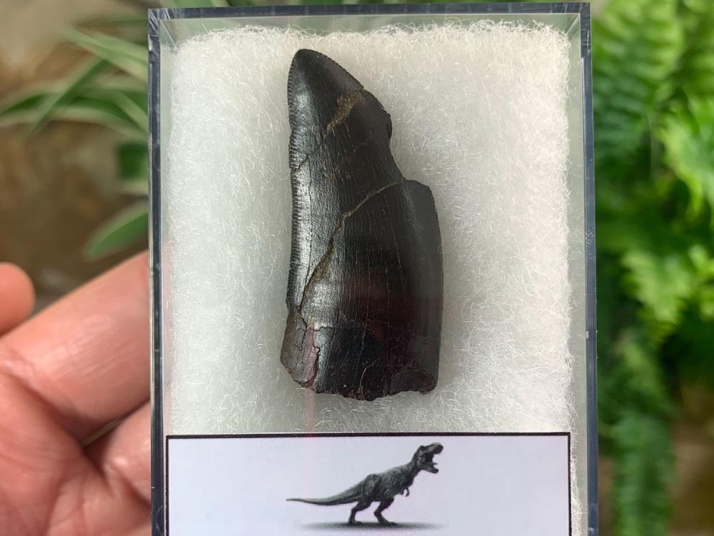 Tyrannosaurus rex Tooth (1.5 inch) #14