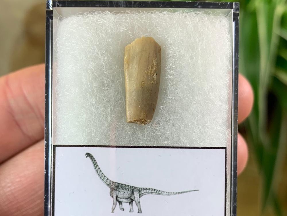 Titanosaurid Sauropod Tooth, Kem Kem #03