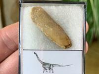 Titanosaurid Sauropod Tooth, Kem Kem #06