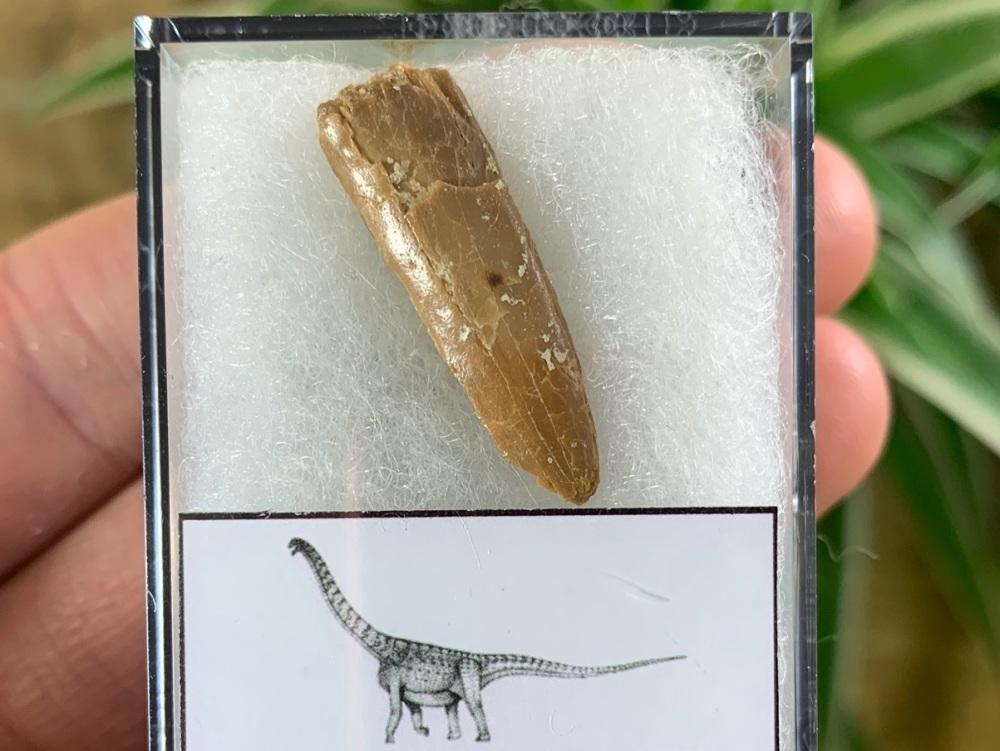 Titanosaurid Sauropod Tooth, Kem Kem #07
