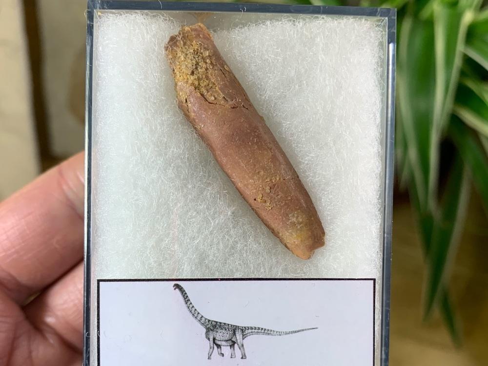 Titanosaurid Sauropod Tooth, Kem Kem #09