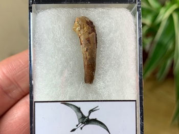 Pterosaur Tooth, Morocco #02