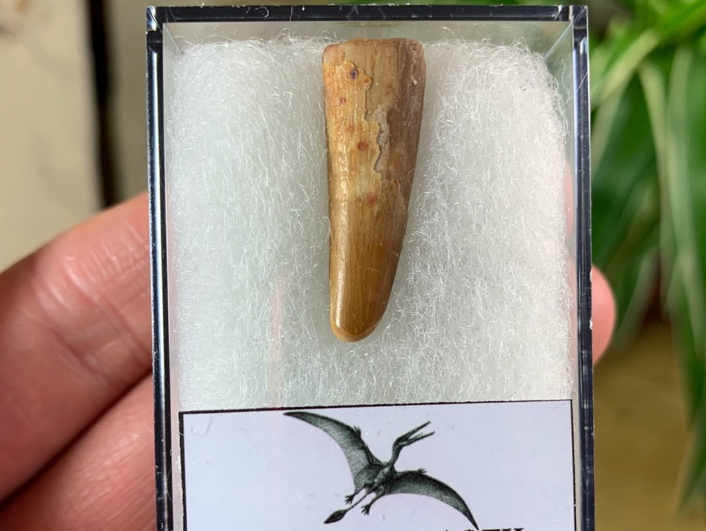 Pterosaur Tooth, Morocco #06