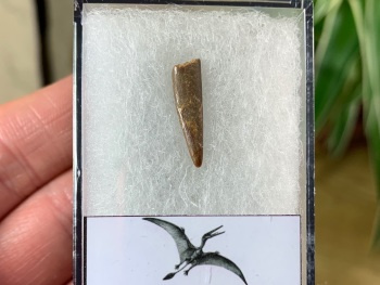 Pterosaur Tooth, Morocco #09