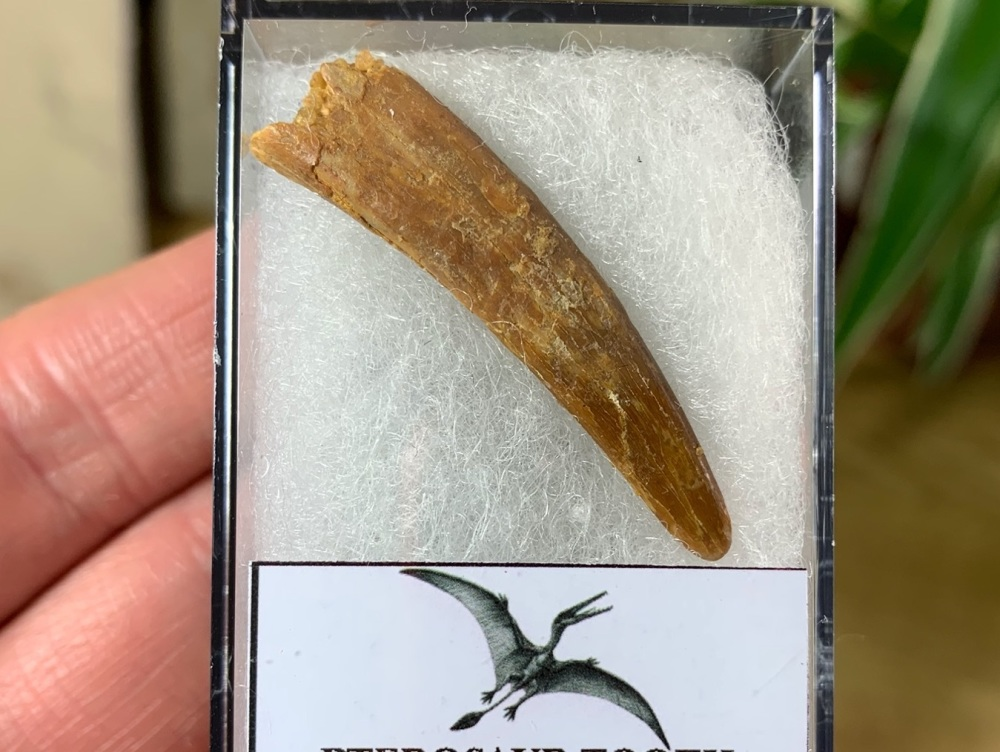 Pterosaur Tooth, Morocco #11
