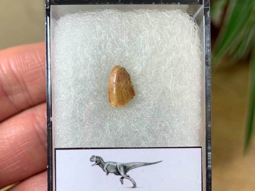 Abelisaur Dinosaur Tooth #AB08