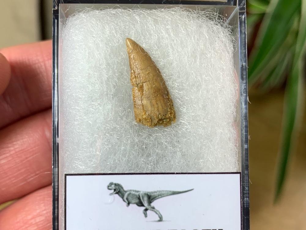 Abelisaur Dinosaur Tooth #AB14