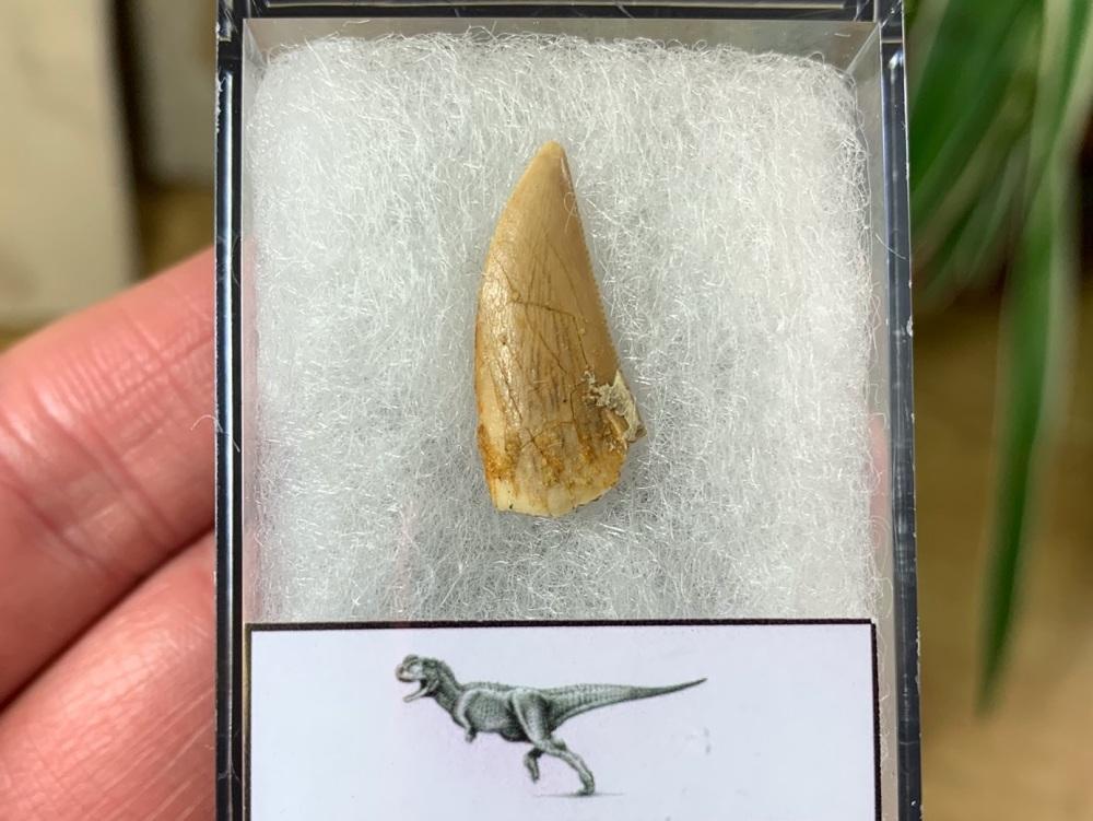 Abelisaur Dinosaur Tooth #AB15