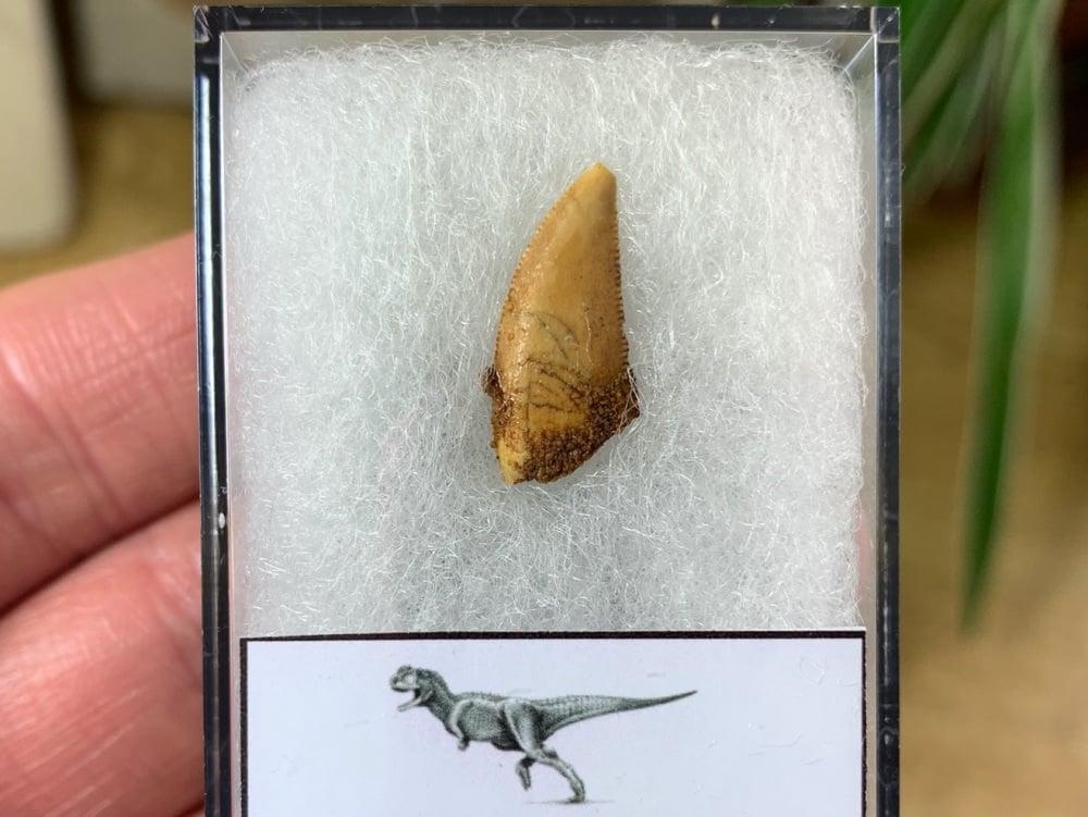 Abelisaur Dinosaur Tooth #AB16
