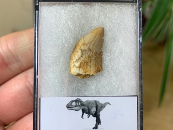 Carcharodontosaurus Tooth - 0.68 inch #CT05