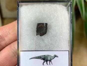 Edmontosaurus Tooth #13