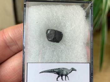 Edmontosaurus Tooth #14
